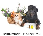 dogs and flowers in front of...   Shutterstock . vector #1163201293