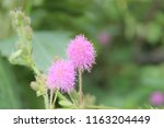 pink mimosa pudica flower  shy  ... | Shutterstock . vector #1163204449