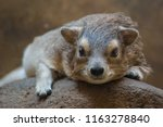 A Resting Hyrax On The Rock