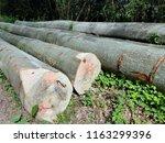 beech trunk  tree | Shutterstock . vector #1163299396