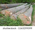 beech trunk  tree | Shutterstock . vector #1163299399