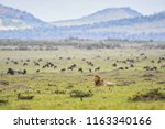 a male lion laying down in a... | Shutterstock . vector #1163340166