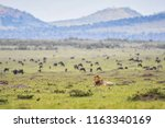 a male lion laying down in a... | Shutterstock . vector #1163340169