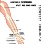 anatomy of the forearm  wrist... | Shutterstock .eps vector #116336083