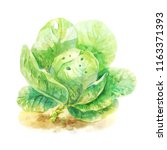 light watercolor cabbage... | Shutterstock . vector #1163371393