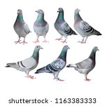 mixed of speed racing pigeon... | Shutterstock . vector #1163383333