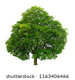 big beech on a white background ... | Shutterstock . vector #1163406466