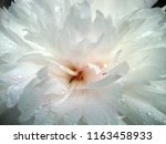 white light pink peony close up ... | Shutterstock . vector #1163458933