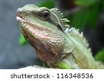 green water dragon or thai... | Shutterstock . vector #116348536