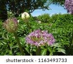 ornamental onion in flower...