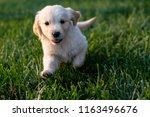 Stock photo puppy running through green grass during golden hour sunset light week old golden retriever 1163496676