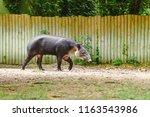 tapir tapirus bairdii in the zoo | Shutterstock . vector #1163543986