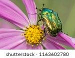 cetonia aurata golden beetle on ...   Shutterstock . vector #1163602780