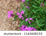 purple flower closeup | Shutterstock . vector #1163608153