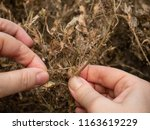 hands showi how caterpillars of ... | Shutterstock . vector #1163619229