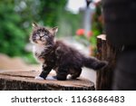 Stock photo close up a playful black ticked maincoon kitten on a wooden floor background by red flower and 1163686483