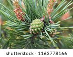 closeup on pine branch with... | Shutterstock . vector #1163778166