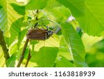 may beetle sitting under a twig ... | Shutterstock . vector #1163818939