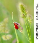 red scarlet lily beetle in... | Shutterstock . vector #1163818963
