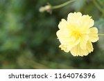 yellow cosmos or cosmos... | Shutterstock . vector #1164076396