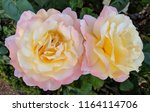 image of two roses of light... | Shutterstock . vector #1164114706
