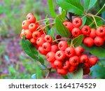 Fruits Of Scarlet Firethorn ...