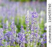 closeup purple flowers  salvia... | Shutterstock . vector #1164255760