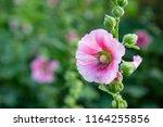 hollyhocks flower of pink color ... | Shutterstock . vector #1164255856