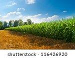 Plantation Of Fodder Corn In...