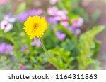 beautiful yellow hybrid gerbera ... | Shutterstock . vector #1164311863