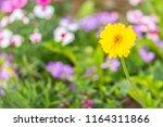beautiful yellow hybrid gerbera ... | Shutterstock . vector #1164311866