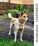 Young Anatolian Shepherd Dog