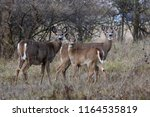 White Tailed Deer Family In Th...