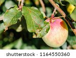 fresh red yellow apples on a... | Shutterstock . vector #1164550360