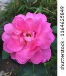 pink rose flower background   Shutterstock . vector #1164625849