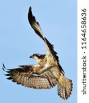 Osprey Flight Pandion Haliaetusit Is - Fine Art prints