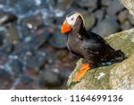 tufted puffin  fratercula...   Shutterstock . vector #1164699136