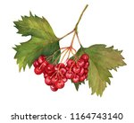 red viburnum opulus  common... | Shutterstock . vector #1164743140