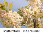 pale yellow cherry blossoms of... | Shutterstock . vector #1164788800