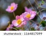 anemone hupehensis japonica...   Shutterstock . vector #1164817099