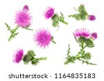 Milk Thistle Flower Isolated O...