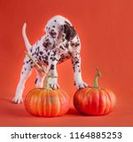 Stock photo dalmatian puppy dog in studio with orange background over couple of pumpkins 1164885253