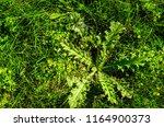 prickly  spiky weed hidden... | Shutterstock . vector #1164900373