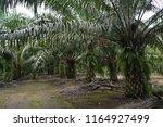 the palm oil plantation   Shutterstock . vector #1164927499
