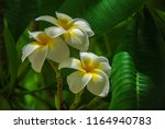 white plumeria in green... | Shutterstock . vector #1164940783