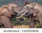 young elephants bull... | Shutterstock . vector #1165020856