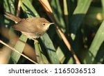 Small photo of A cute fledgling Reed Warbler (Acrocephalus scirpaceus) perching on a reed in the reed bed. It is waiting for its parents to come back and feed it.