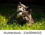 Stock photo family of cats outdoor cat with the baby kitten on grass cat hugs kitten cat plays kitten 1165046410