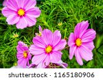 pink cosmos flowers in the... | Shutterstock . vector #1165180906