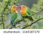 Lilian's Lovebird   Nyasa...